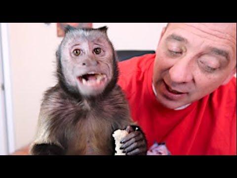 Capuchin Monkey Eats Peanut Butter Sandwich!
