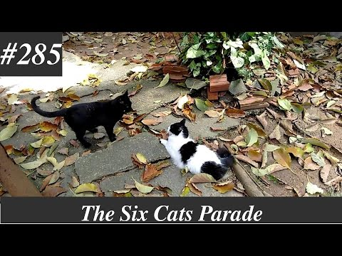 Rico vs Billy, cats fighting - part 2 [Natural sounds]