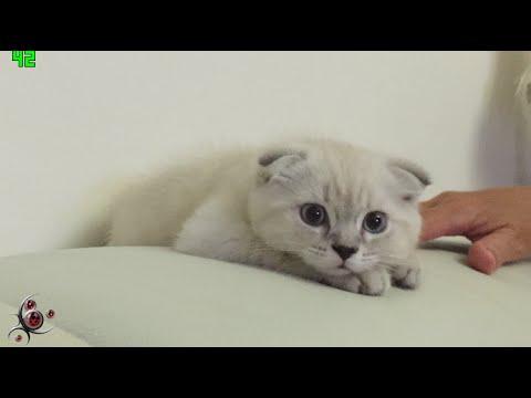 Cute Scottish Fold Kitty Cat - ねこ - Presentation