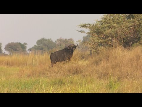 African Buffalo Hunt. Namibia Caprivi Hunting at it's best #4