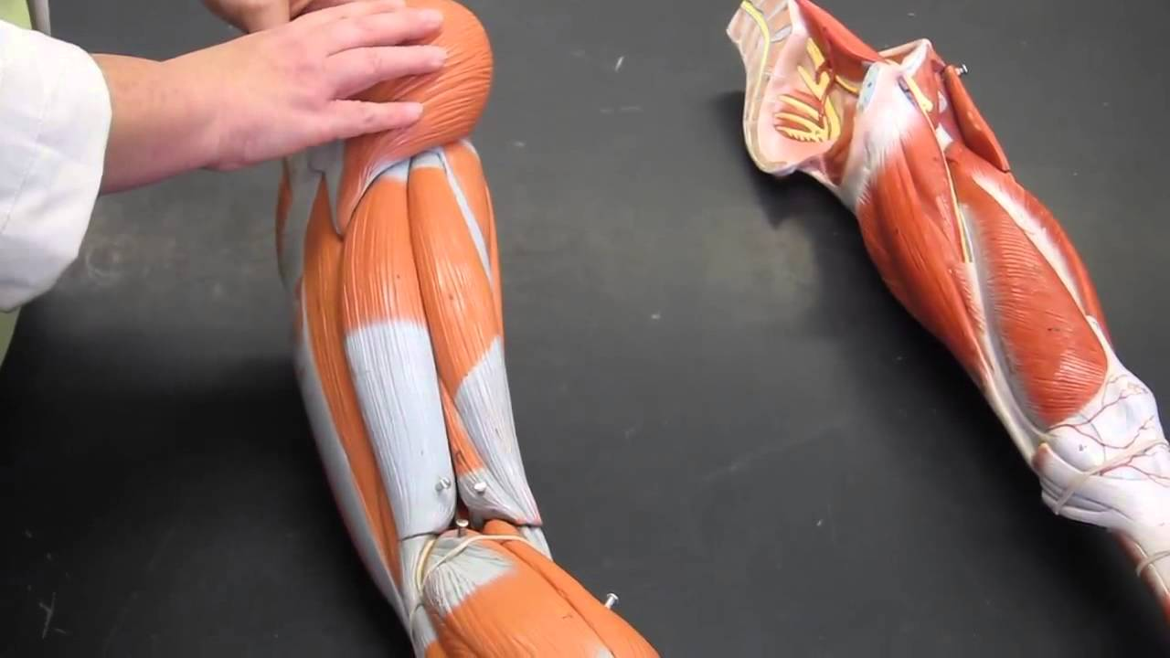 a&p1 lab #9 muscle review with the human models - youtube, Muscles