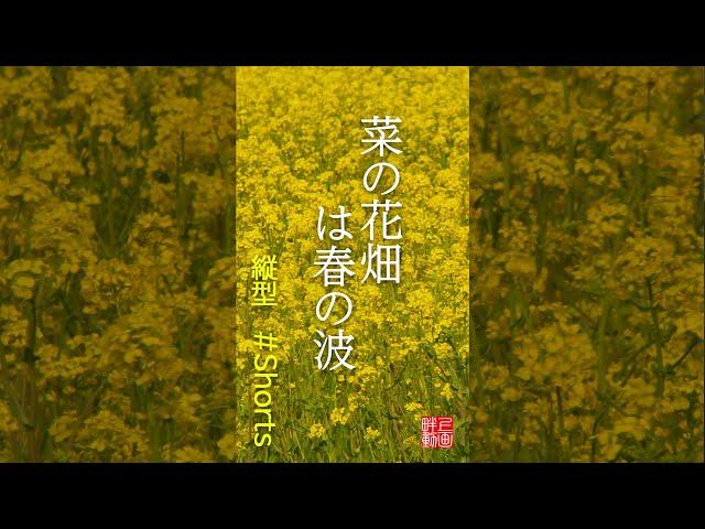 菜の花畑は春の波【縦型超ショート俳句動画/59秒】#Shorts