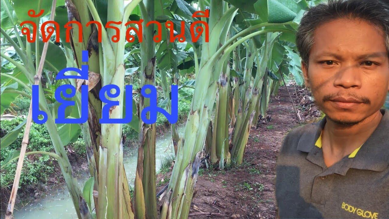 จัดการสวนกล้วยน้ำว้าไม่ให้เกิดโรคตายพราย EP.2