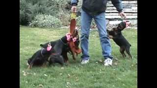 6 Beautiful Sunnybrook Doberman Female Puppies Playing The Tug Of War Game