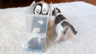 でんぐり返しを教えるねこ。Maru teaches forward roll to Kitten Miri.