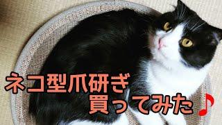 ネコ型爪研ぎのマタタビに反応するルイとレオ thumbnail