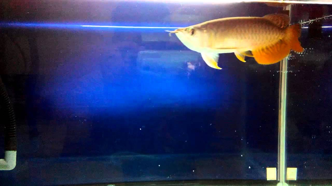 My Arwana Golden Red (RTG) @My Room - YouTube