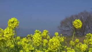 菜の花・雪の比良山系・湖畔の波音1・19守山町♪元気を出して♪.wmv