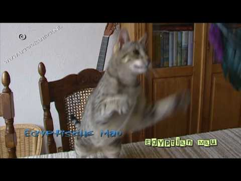 Egyptian Mau Egyptische Mau Cat Friends Youtube