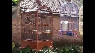 cucak jenggot kontes love bird