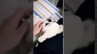 リラックスモード ペキニーズ 犬 thumbnail