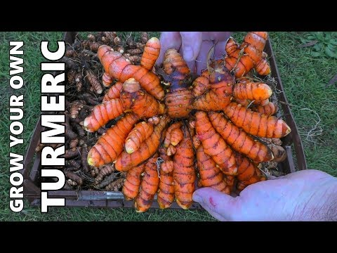 How to Grow Turmeric