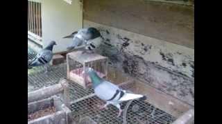 Hodowla Majewski - Loft racing pigeons, tauben, gołębie