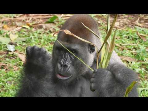 Der Chef der Gorilla-Gruppe