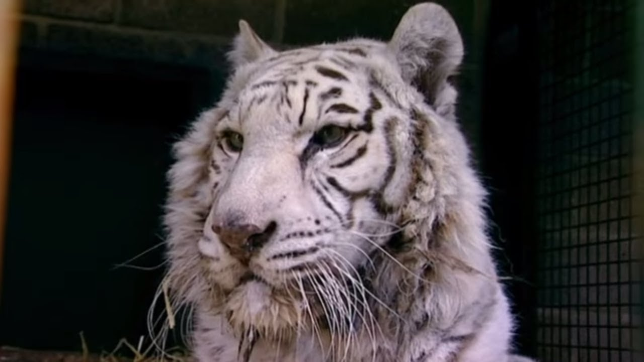 Animal Park - White Tiger Operation & Giraffes | Safari Park Documentary | Natural History Chann