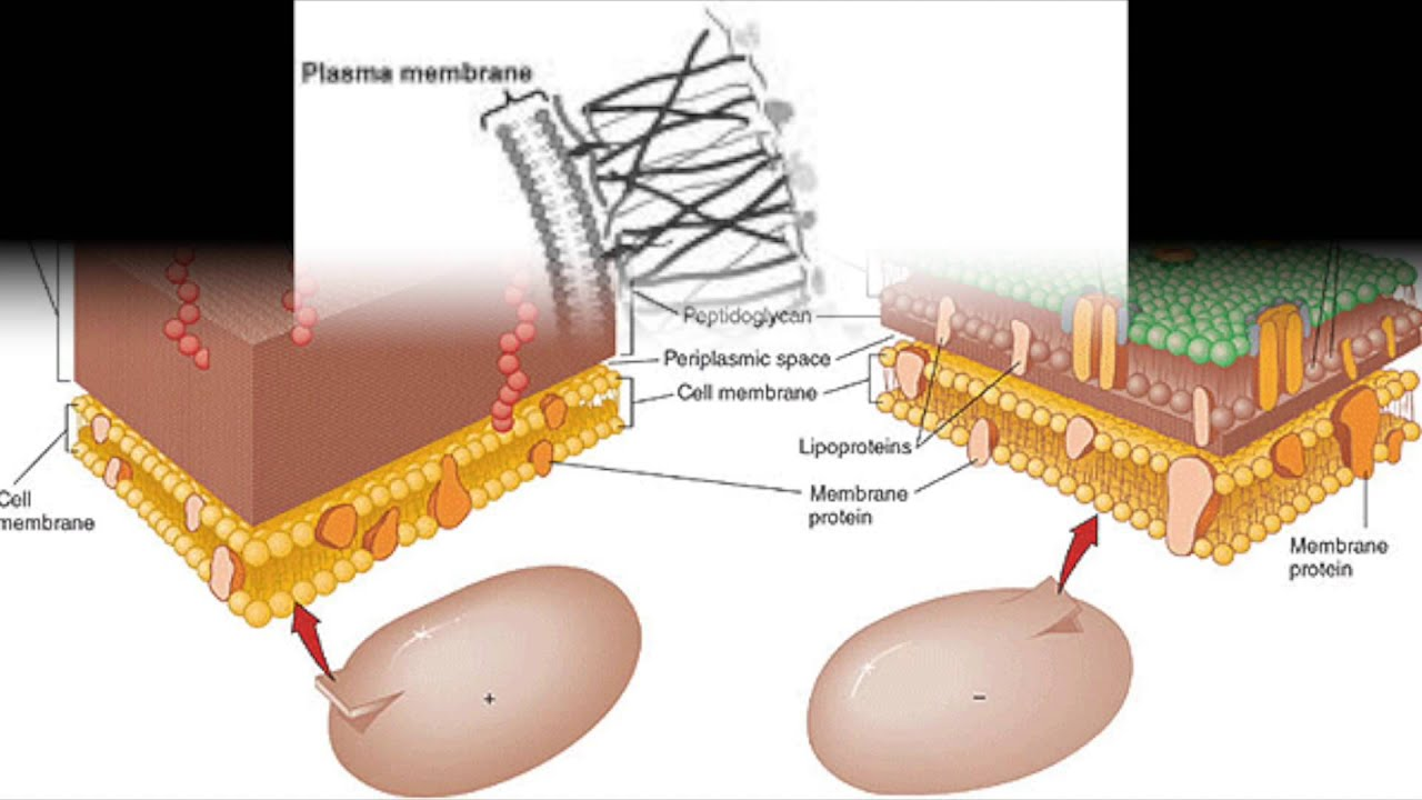 medium resolution of cell wall structure and function plant bacteria fungi