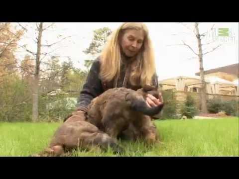 Briard - Dog Breed