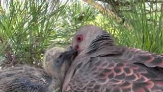 庭の松に巣を張った鳩が、子に食事を与えています。途中、近づき過ぎ威...