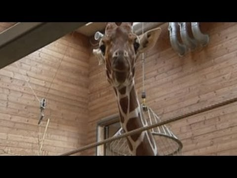 Copenhagen Zoo Marius the Giraffe ...Please Share