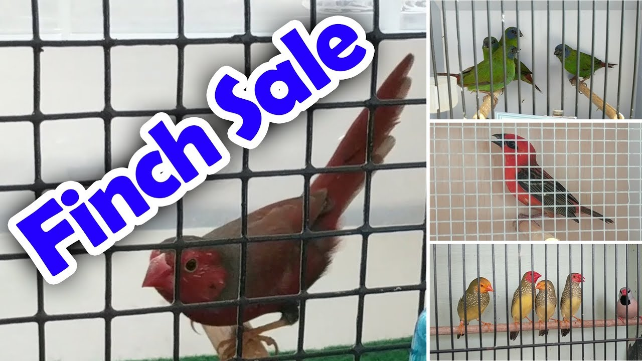 Bird Sale Queensland Finch Society Jan 2019