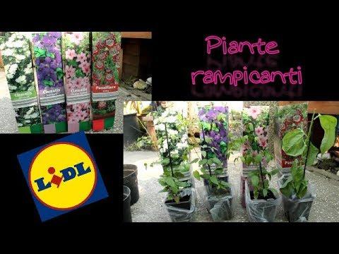 Clematis e passiflora piante rampicanti lidl pollice for Piante acquisto