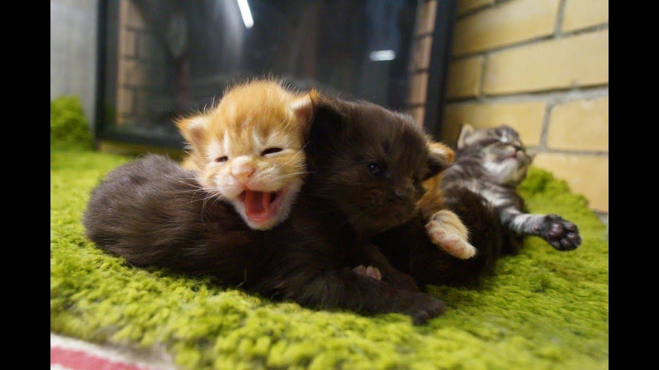 Питомник кошек породы мейн кун, приветствует вас на нашем сайте. Мы предлагаем котят этой породы от прекрасных производителей с выраженными породными данными.