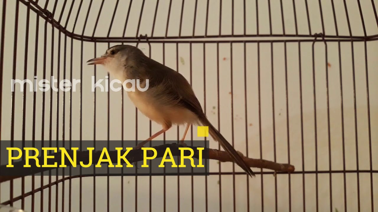 Suara Jernih Burung Prenjak Pari Sawah Jantan Gacor Full Isian Durasi Panjang Youtube
