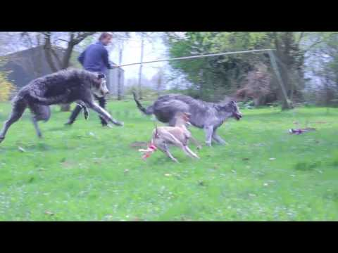 Scottish Deerhounds & Whippet are having fun in garden