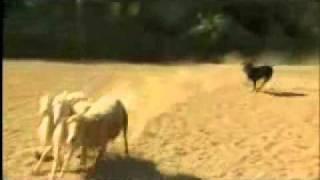 Dog Whisperer: Rottweiler Herding Sheep