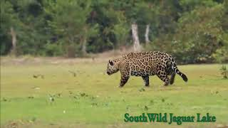 Big male Jaguar salivates over and stalks oblivious Tapir at Jaguar Lake