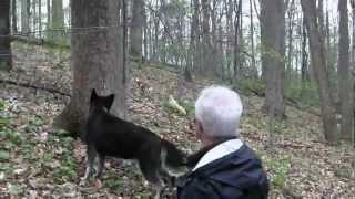 Whippet chasing Ibizan Hound
