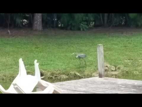 Jr Great Blue Heron Hunting At My Pond