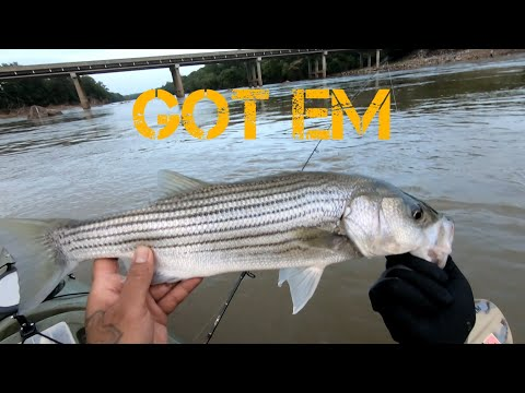 Striper Fishing With Live White Perch