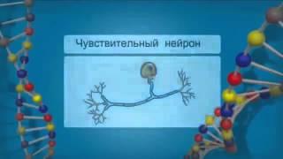 Нервная система человека.  Строение и функции .