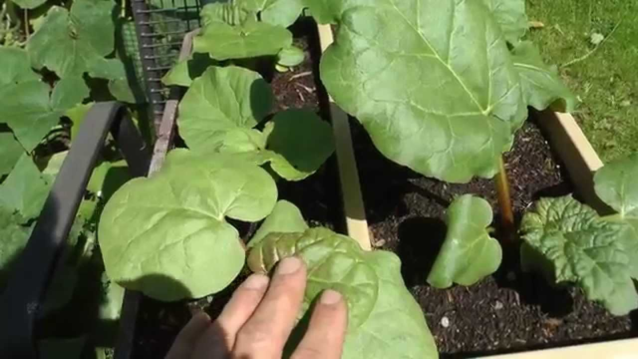 How to plant rhubarb in the fall - How To Grow Rhubarb From Seed And Crowns Or Divisions