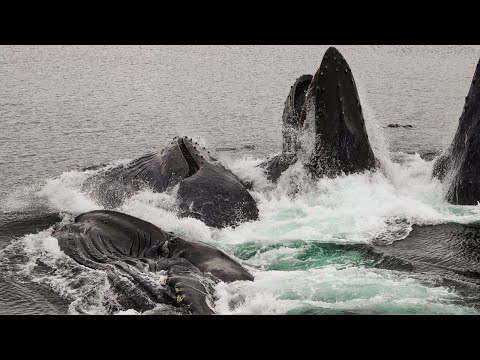 The Grand Slam of Whale Watching: Bubble-Net Feeding, Alaska