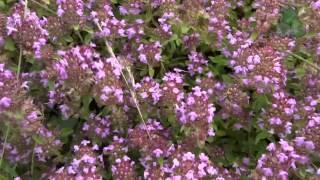 Bienenweide Thymus Imkerei b.tree