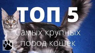 ТОП 5 самых крупных пород кошек