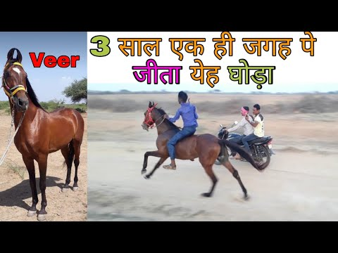 घोडा दौड़ : 3 Years Horse Race Champion In Kutch (Veer)