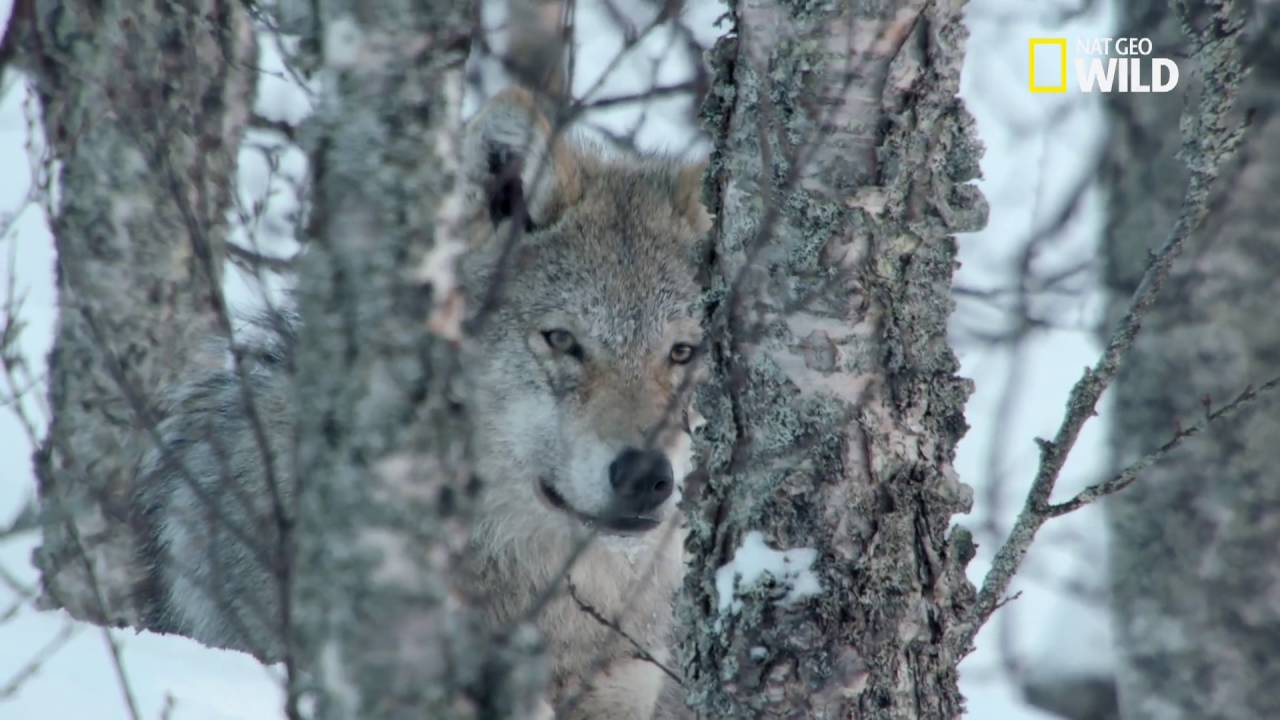 Le loup gris youtube - Photo de loup gris a imprimer ...