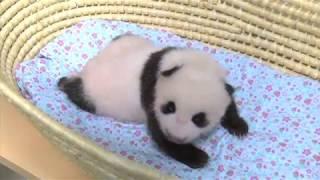 ジャイアントパンダの赤ちゃん、誕生から50日齢まで(2017年8月21日公開)