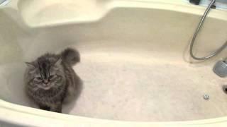 Приколы с животными. Кошка играет в ванне. Безумные игры домашних любимцев