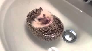 Как купают маленького ежика  Смешные животные