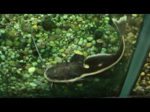 South American Red Tail Catfish (Phractocephalus Hemioliopterus) For Sale At Tyne Valley Aquatics