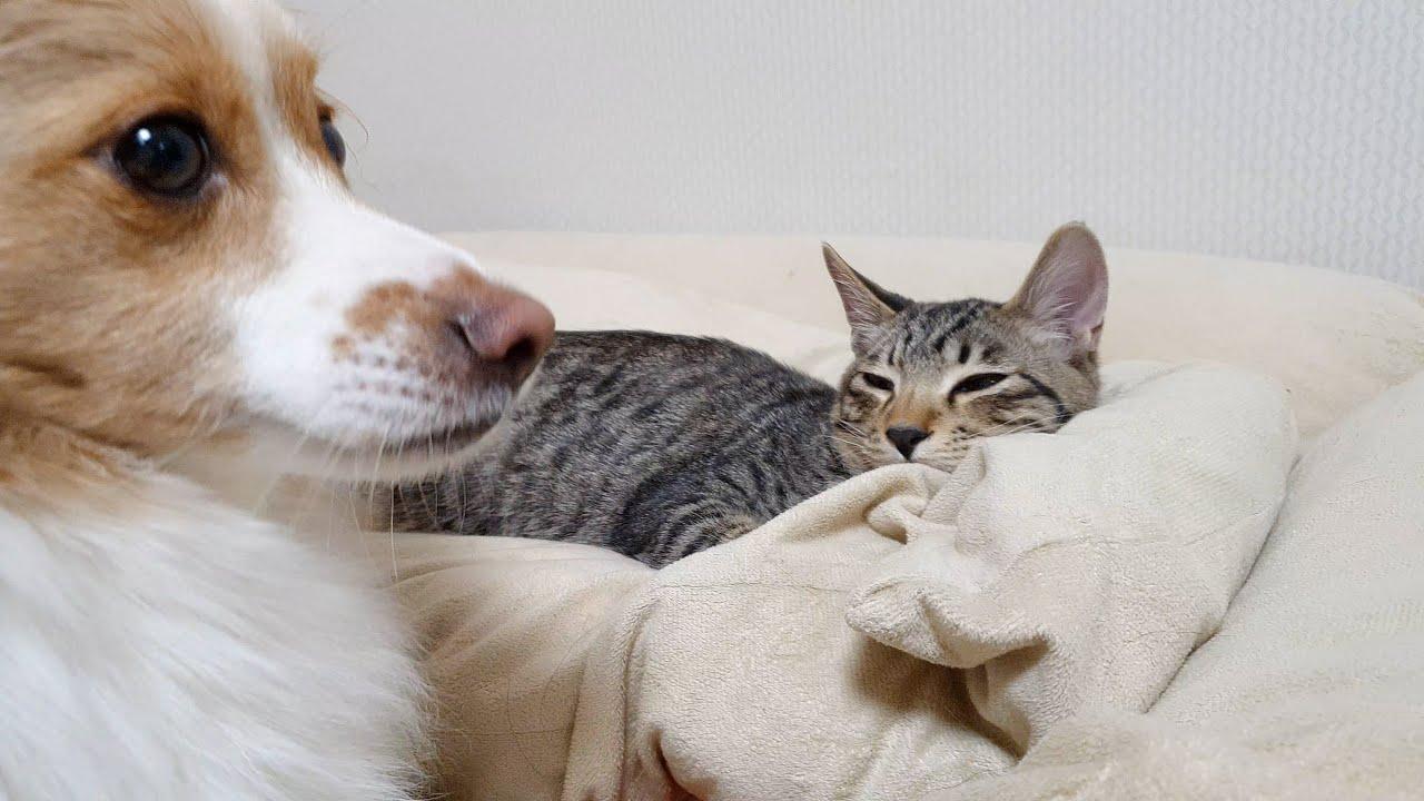 자고 일어났더니 고양이에게 최애 방석을 빼앗긴 강아지 반응 ㅋㅋㅋ