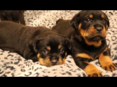 Guardian Rottweilers Three Musketeers Youtube