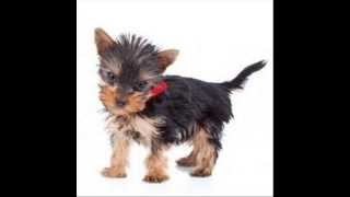 Yorkie Facts For Kids - Yorkie Information And Facts - Cute Yorkie Video