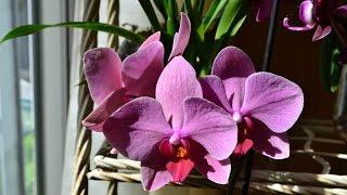 Орхидеи в банках: все пропало?(В прошлом видео я рассказывала о способе выращивания орхидей в горшках без дренажных отверстий. Делюсь..., 2015-09-08T04:11:10.000Z)