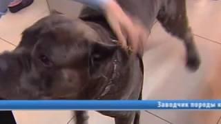 Собаки кане корсо