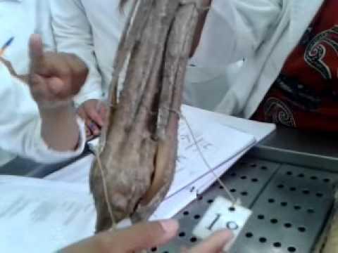 Fascias y tendones de mano y pie de caballo - YouTube